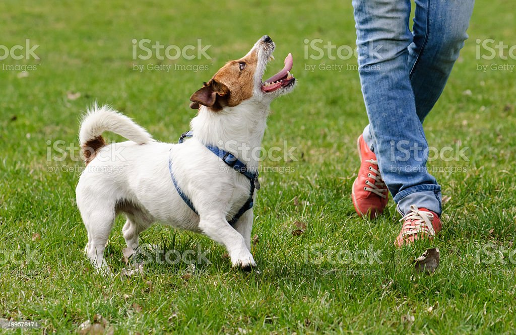 Obedient dog doing walking exercise with owner stock photo