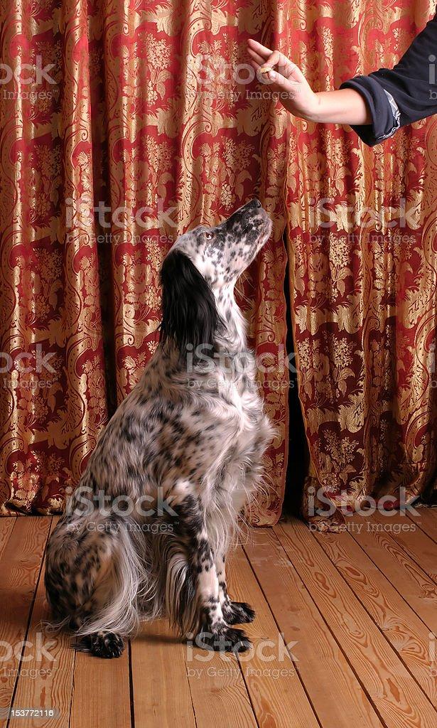 obedient Hund Lizenzfreies stock-foto