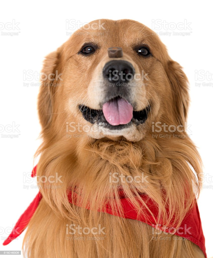 Obedient dog with a treat on his nose stock photo