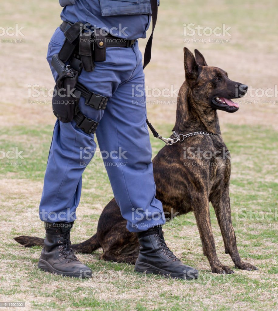 Obedient police dog sitting at his handlers feet stock photo
