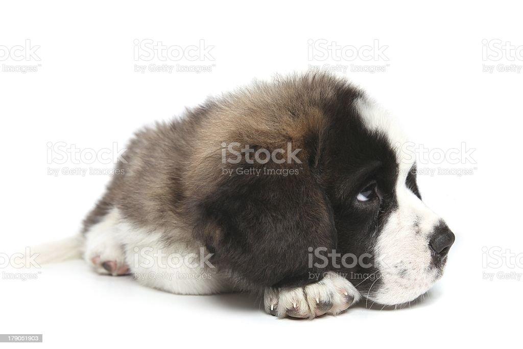 Obedient Saint Bernard Puppy on White Background royalty-free stock photo