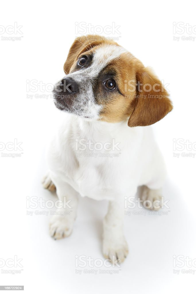 Obedient sitting dog royalty-free stock photo