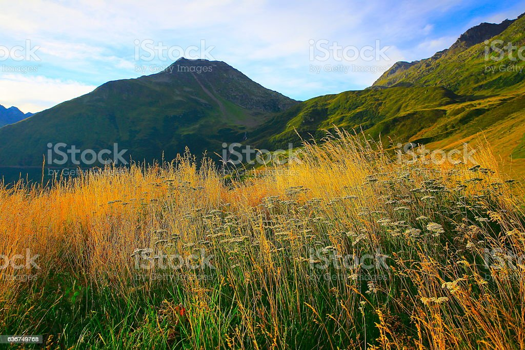 Oberalp mountain pass, flowerbed wildflowers, gold sunrise, Swiss Alps, Graubunden stock photo