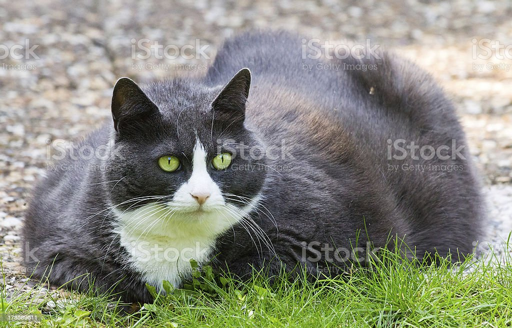 Obese cat royalty-free stock photo