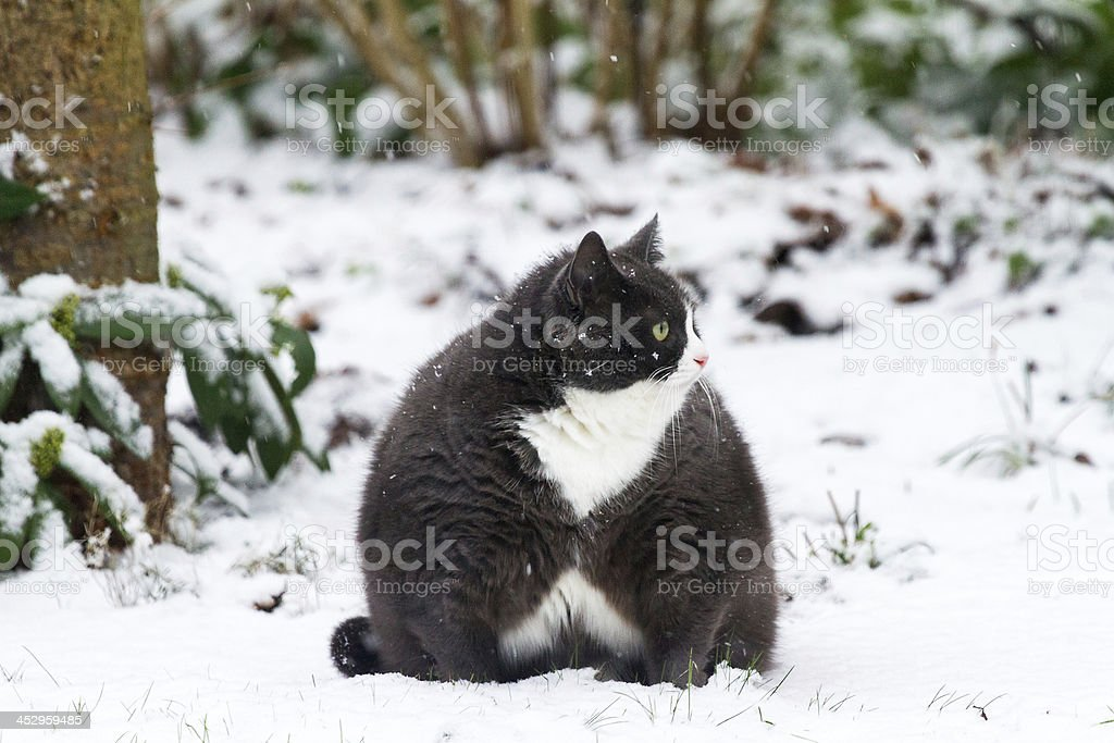 Obesicat playing in the snow stock photo