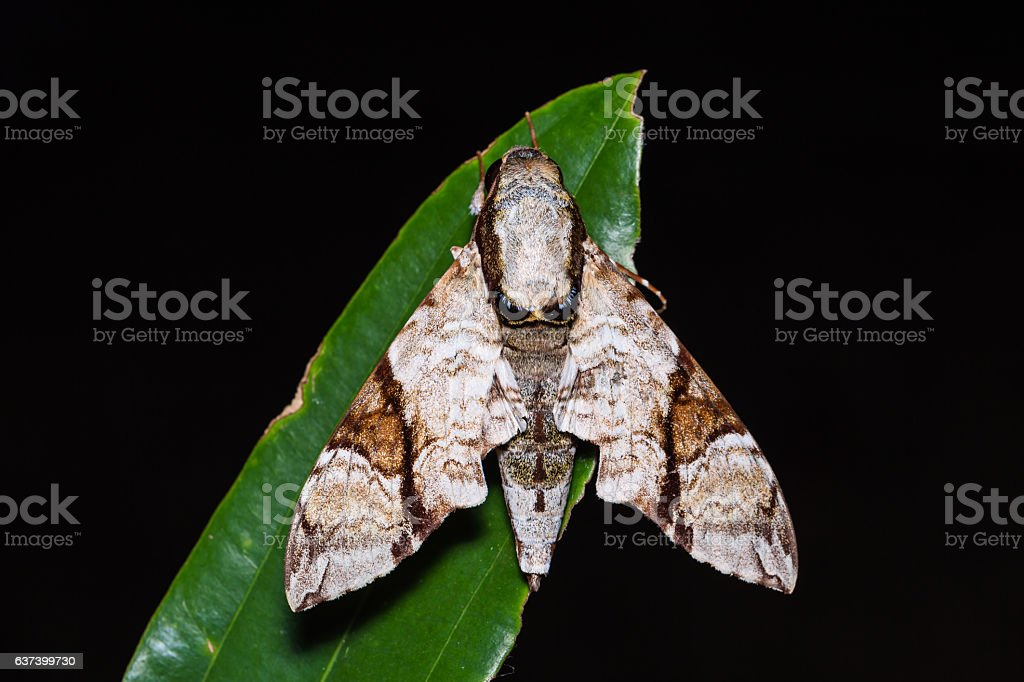 Oblique-banded hawk moth stock photo