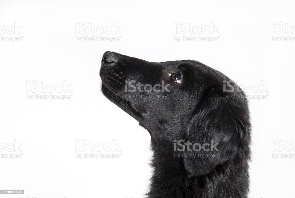 observant black puppy stock photo