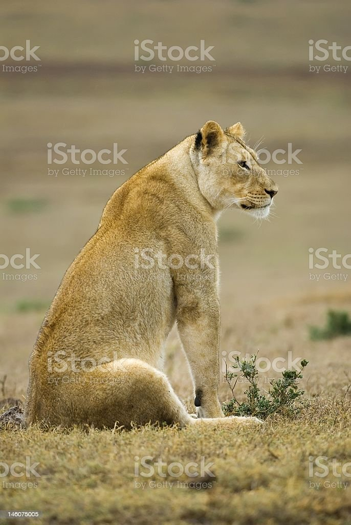 Observant Lioness royalty-free stock photo
