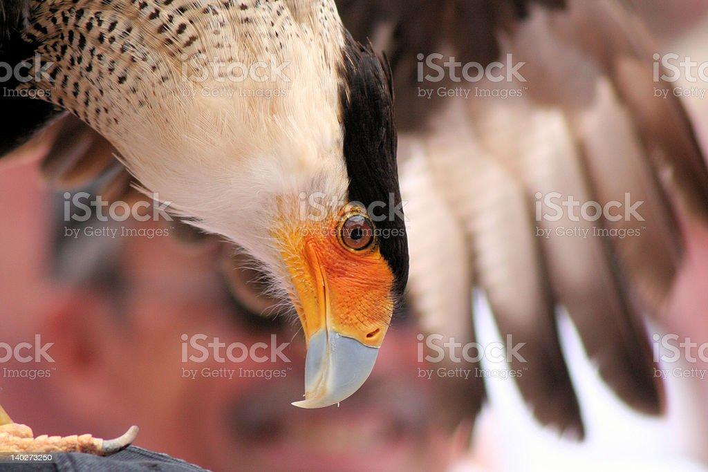 'Observe', Bird Crested caracara royalty-free stock photo