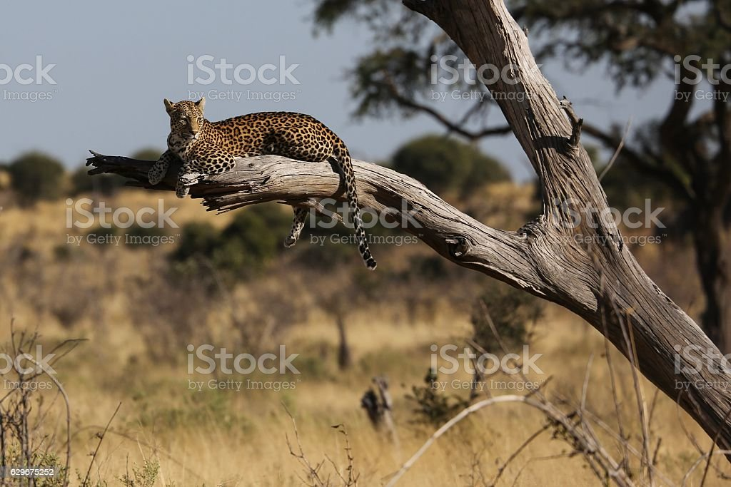 Observing leopard stock photo