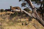 Observing leopard