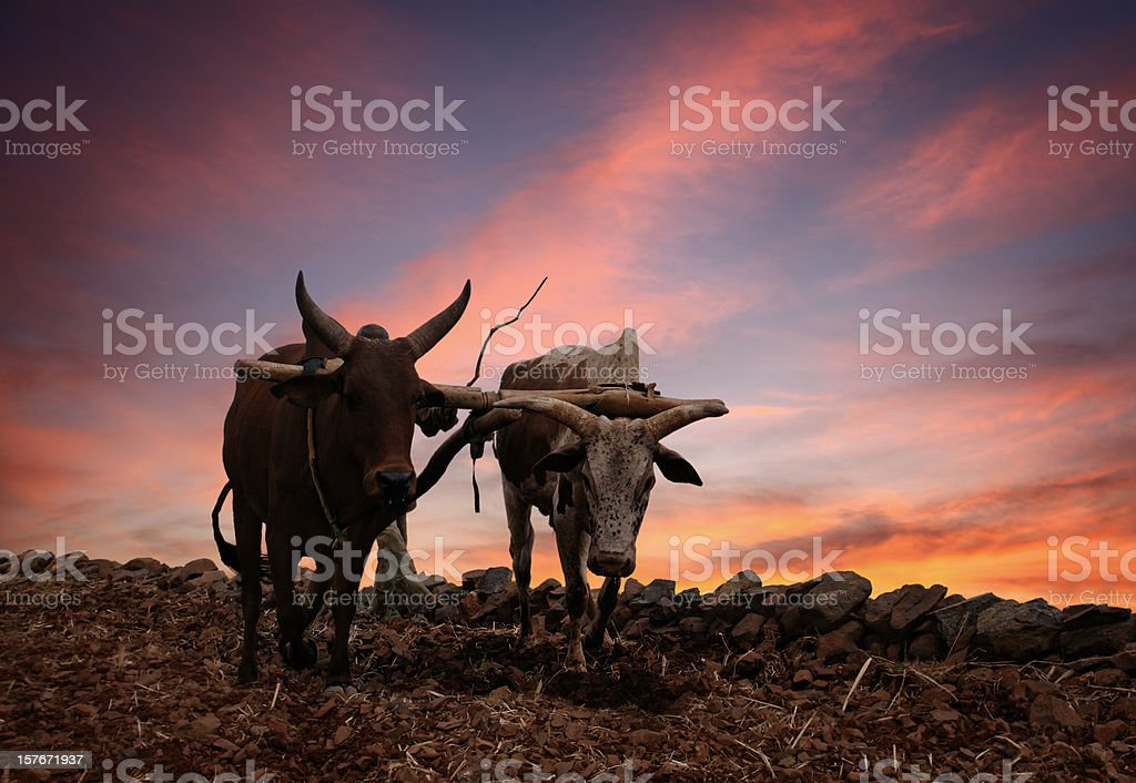 Obsolete Plow with Two Cows stock photo