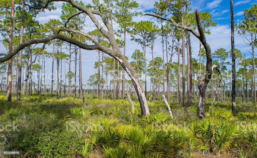Ocala National Forest stock photo
