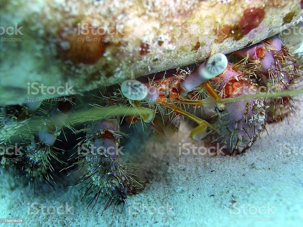 Ocean Hermit Crab royalty-free stock photo