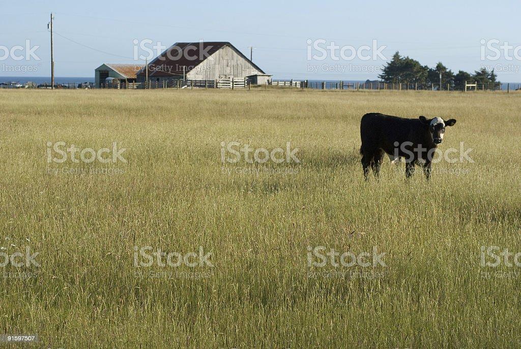 ocean view cows stock photo