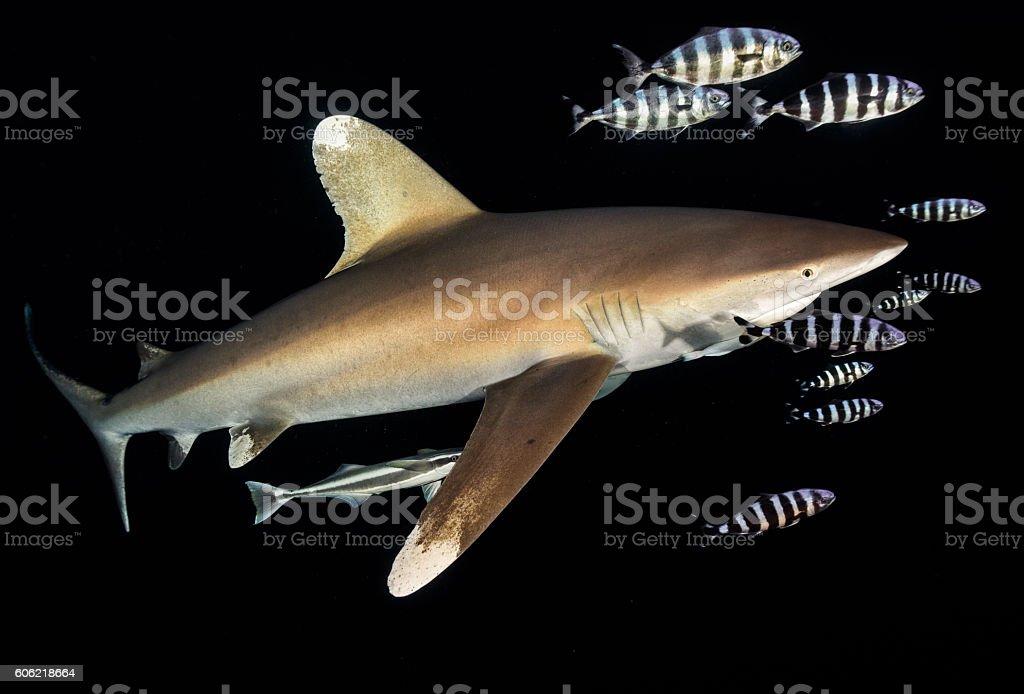 Oceanic White Tip Shark stock photo