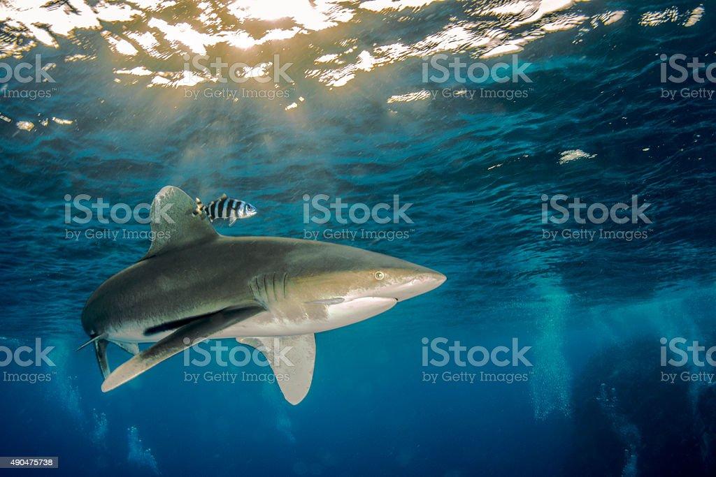 Oceanic whitetip shark stock photo