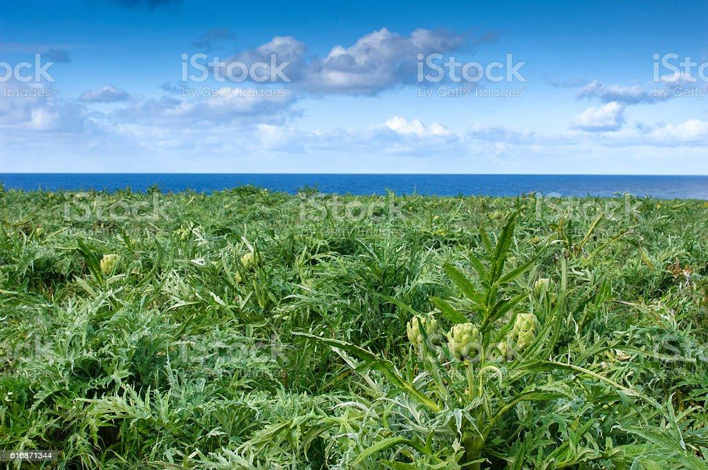 Oceanside Artichoke Field with Ocean in Background stock photo