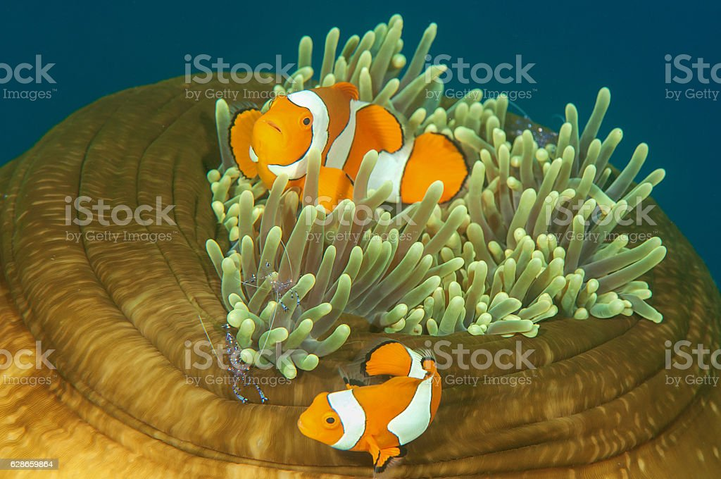 Ocellaris clownfish (amphiprion ocellaris) and tosa commensal shrimp stock photo