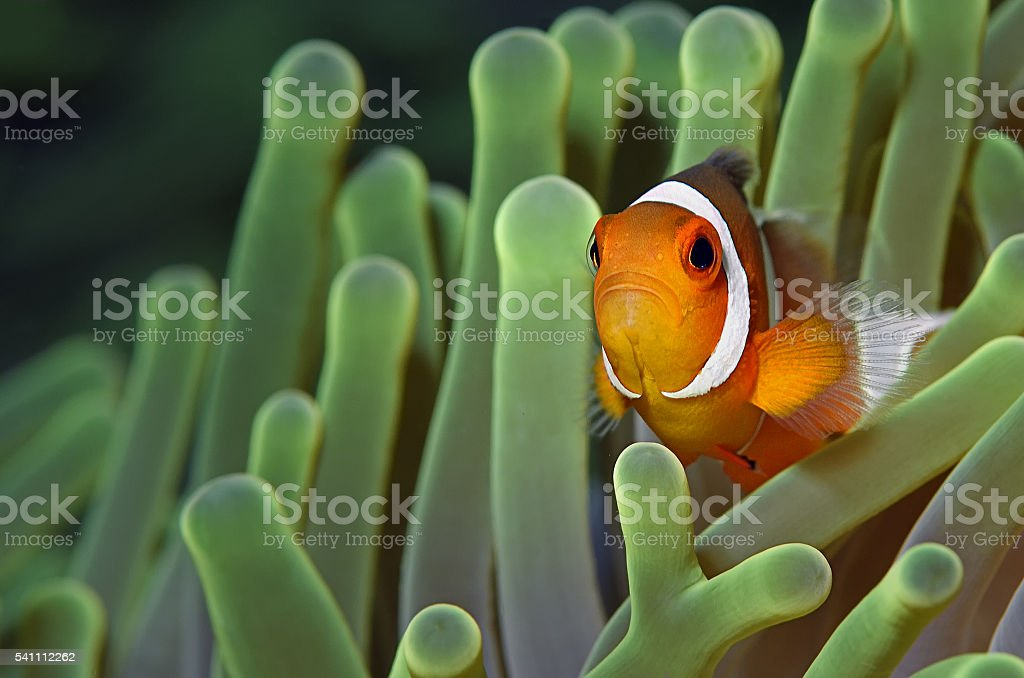 ocellaris clownfish (A. ocellaris) stock photo