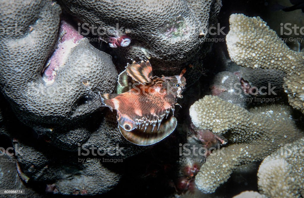 Ocellated Lionfish - Thailand royalty-free stock photo