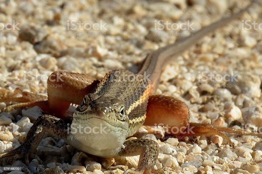 Ocellated Lizard stock photo