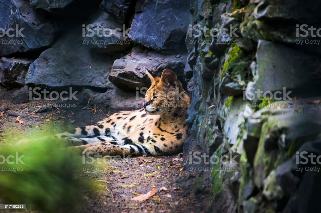 Ocelot is a carnivorous mammal of the cat family stock photo