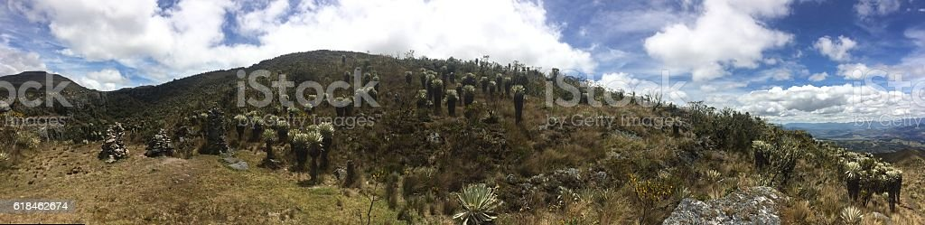 Oceta's Páramo, Colombia. Landscape of family of frailejon. stock photo