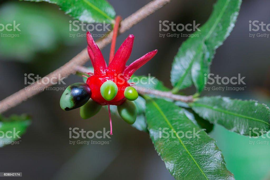 Ochna serrulata in nature exotic plant stock photo