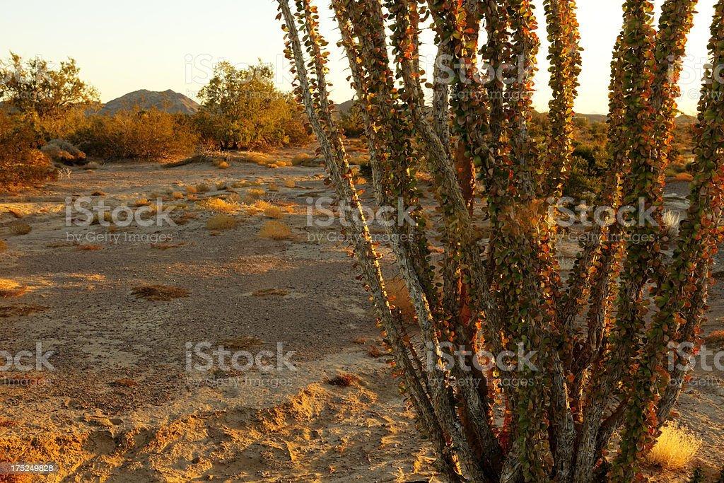 Ocotillo at Sunrise on Public Land stock photo