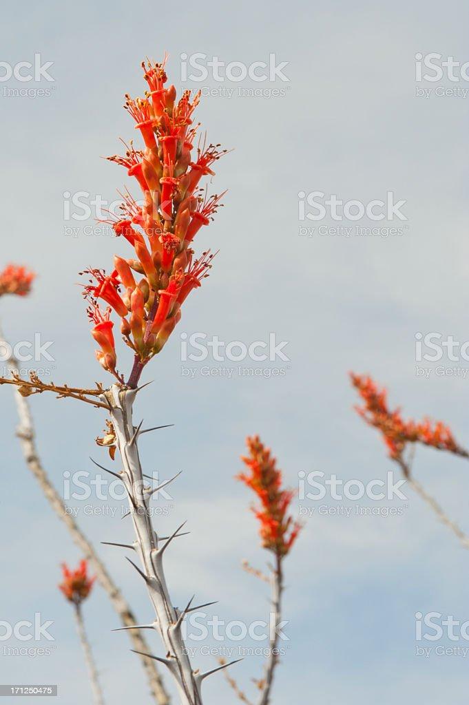 Ocotillo Cactus Flower stock photo