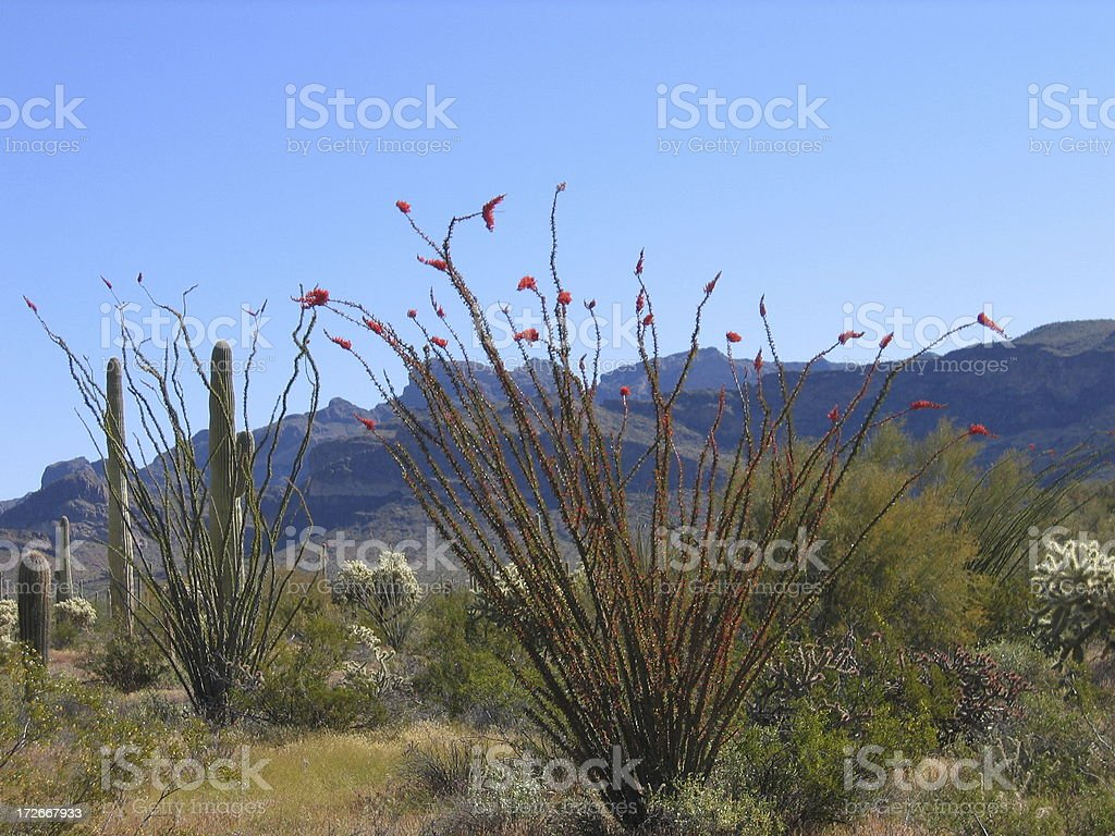 Ocotillo cactus in the desert stock photo