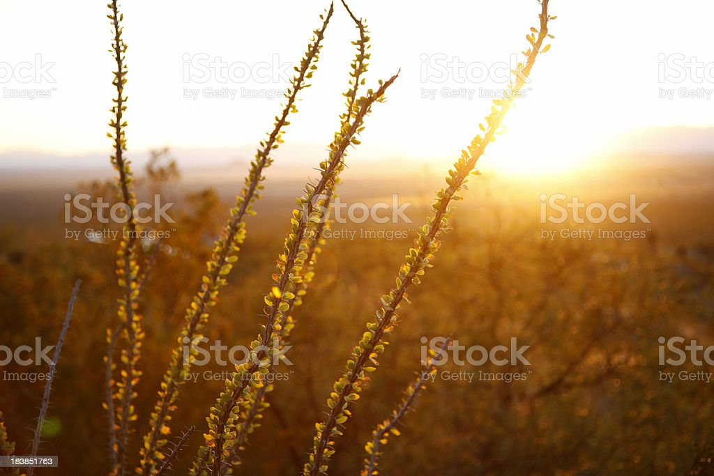 Ocotillo Cactus in the Sunset royalty-free stock photo