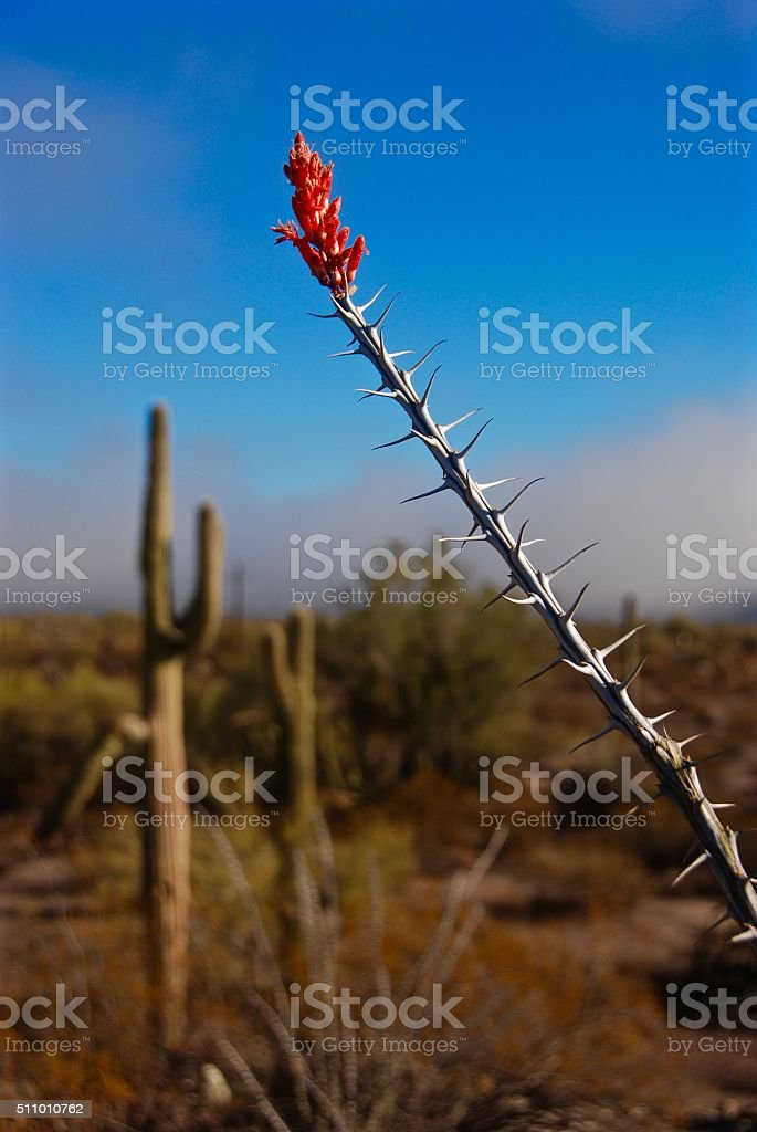 Ocotillo Flower and Saguaro Cactus stock photo