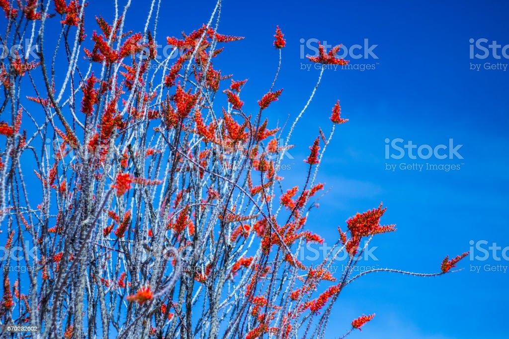 Ocotillo flower closeup. stock photo