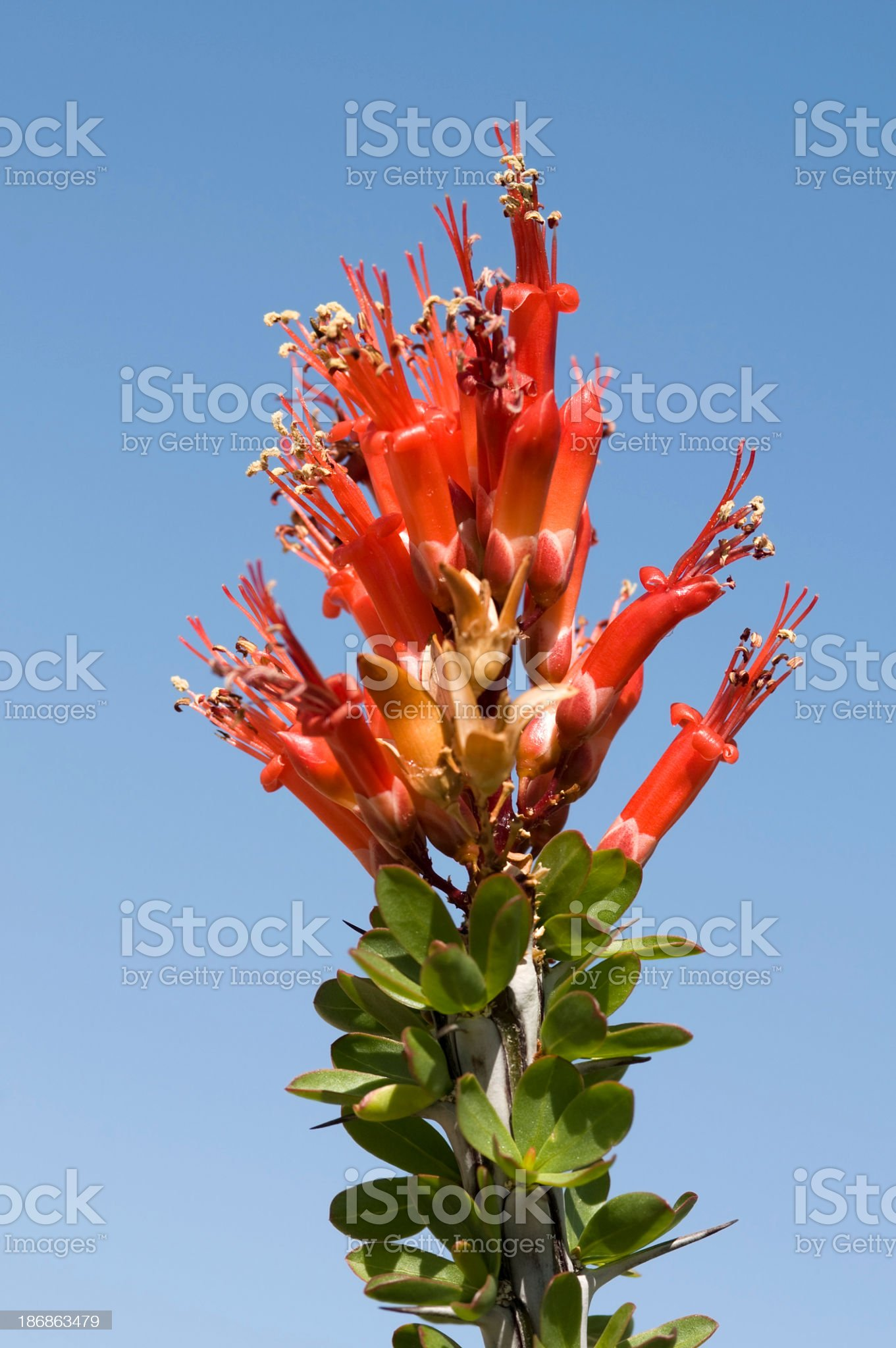 ocotillo, Fouquieria splendens, flowers royalty-free stock photo