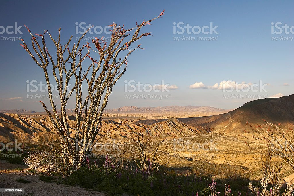 Ocotillo in bloom royalty-free stock photo