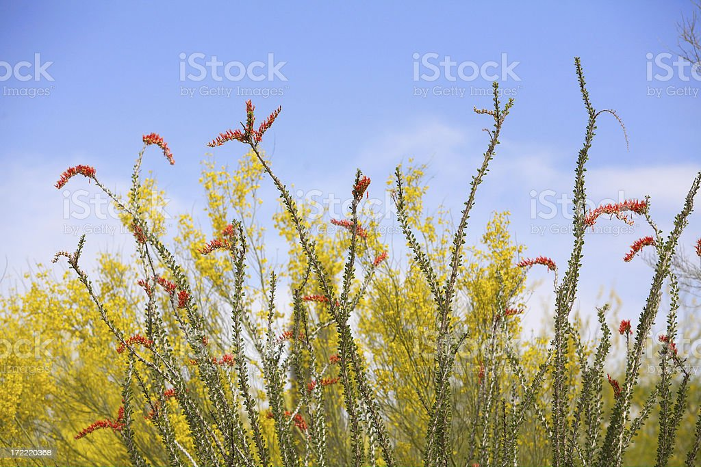 Ocotillo foto stock royalty-free