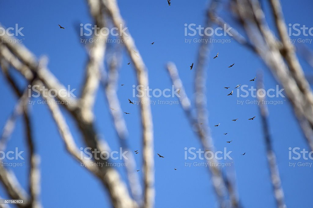 Ocotillo Witnessing A Murder of Vultures, Joshua Tree National Park stock photo