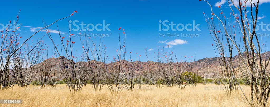 Ocotillos in Bloom stock photo