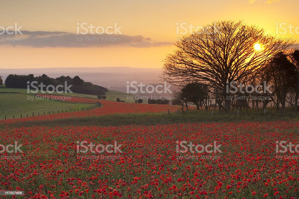 October poppies, Melbury Down, Dorset, U.K royalty-free stock photo