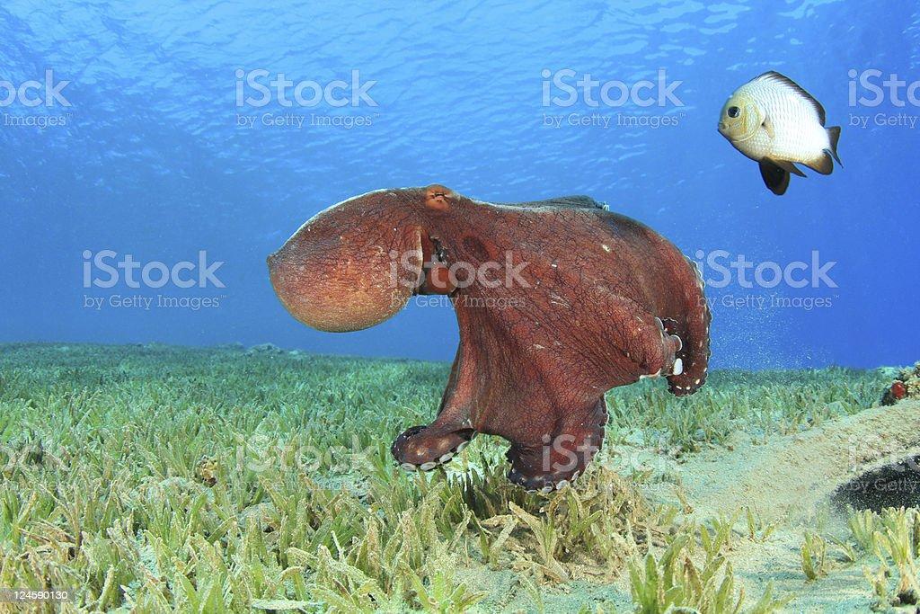 Octopus and Damselfish stock photo