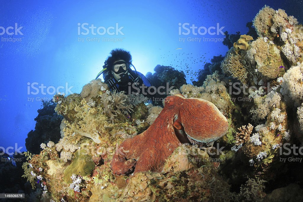 Octopus and Scuba Diver stock photo