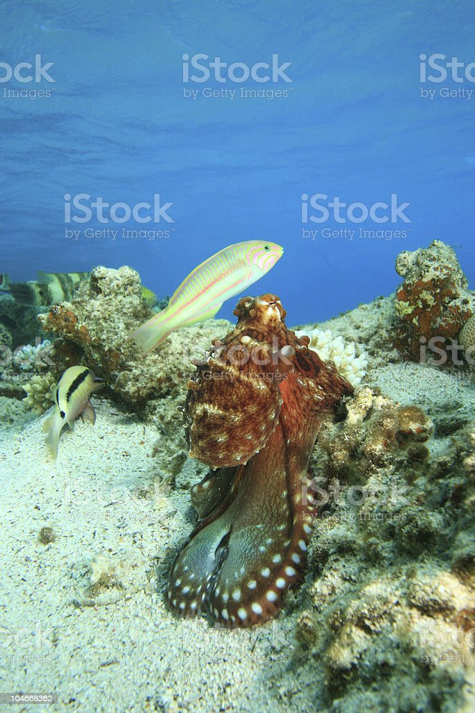 Octopus and Wrasse stock photo