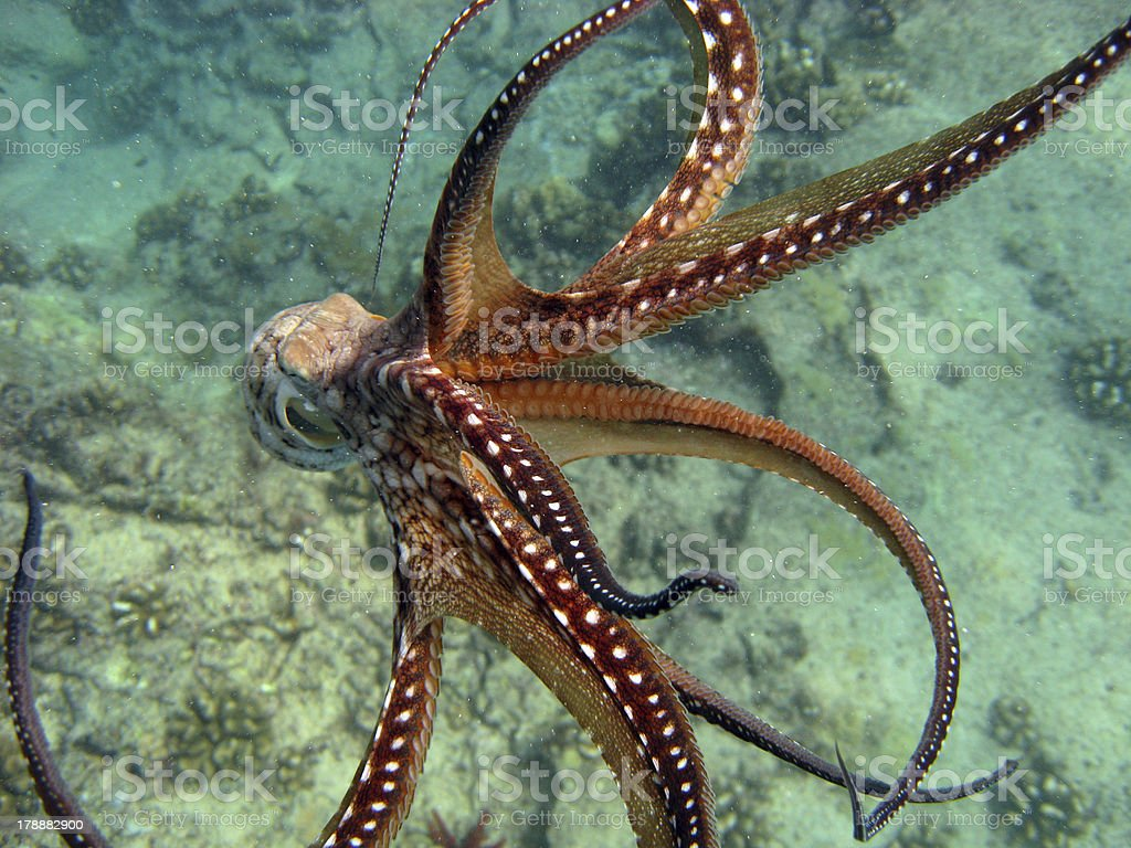 Octopus Escape stock photo
