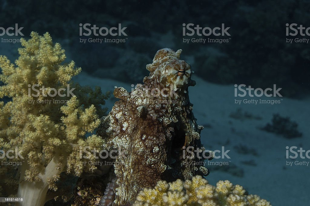 octopus hiding behind corals stock photo