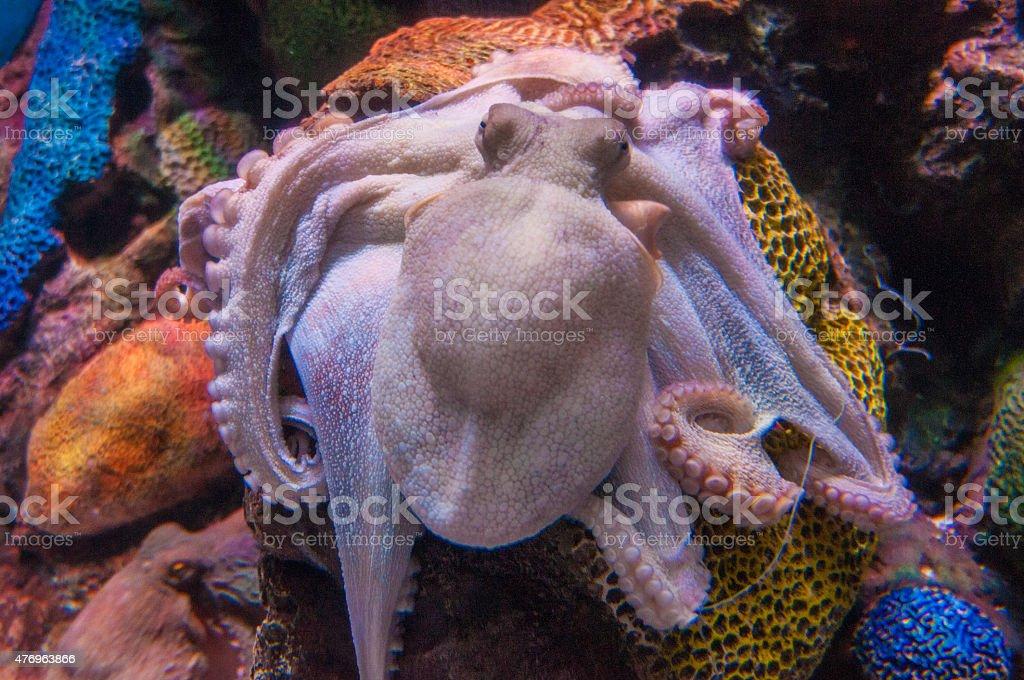 Octopus in water stock photo