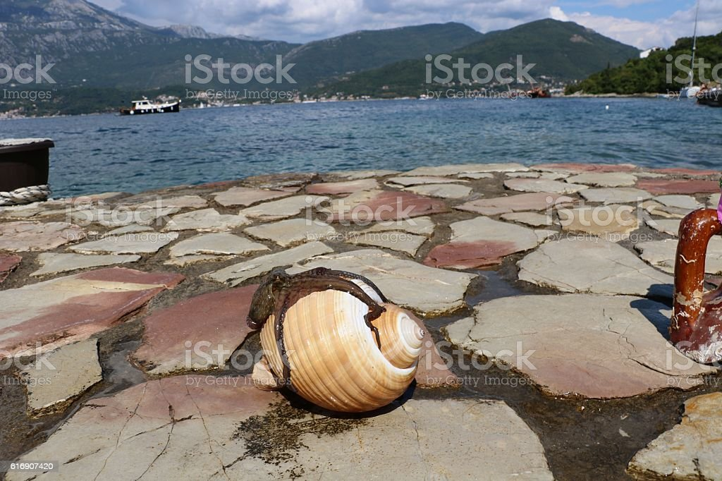Octopus laying on the white shell outside the water stock photo