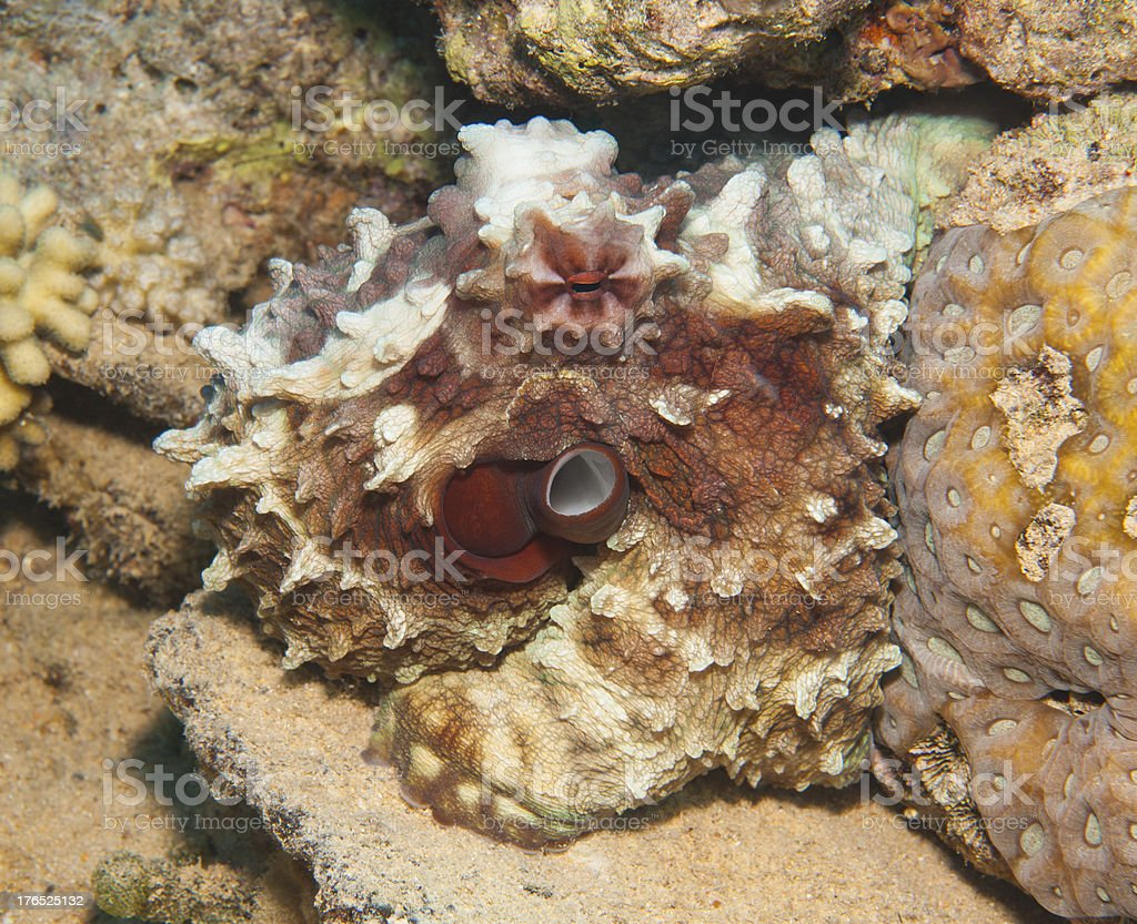 Octopus on a coral reef stock photo