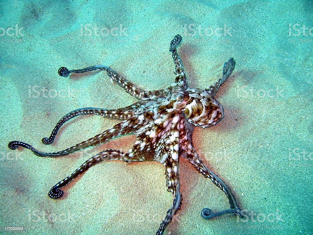 Octopus on the Sand royalty-free stock photo